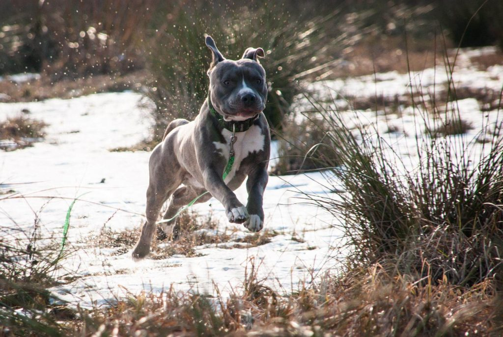 Pit Bulls are very athletic dogs and can sprint like no other.