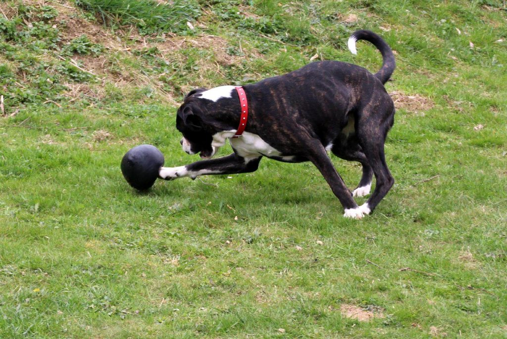 Pit Bull chasing his favorite ball